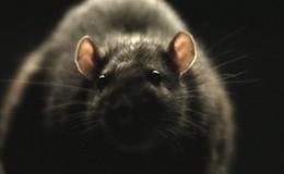 Imagen de Ratas! en Discovery Max