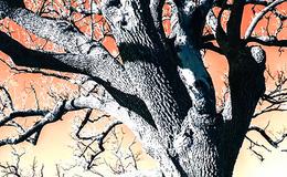 Imagen de EnArbolar: grandes árboles para la vida en RTVE