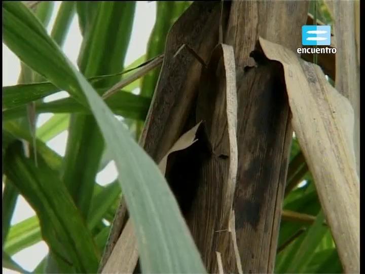5 - Región Noroeste: el cultivo de la caña de azúcar I