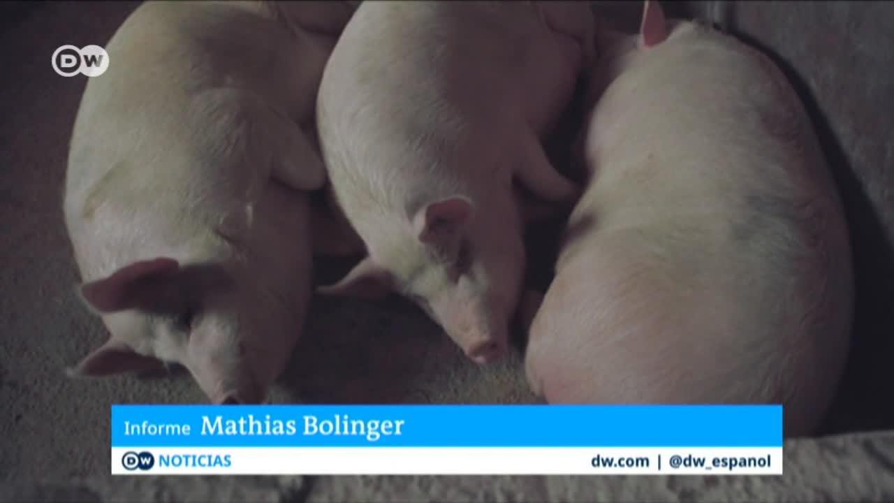 Amenaza de peste porcina en China