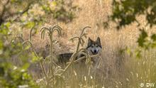 México: el regreso del lobo