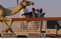 Carreras de camellos: recuperando una tradición beduina en Dubái