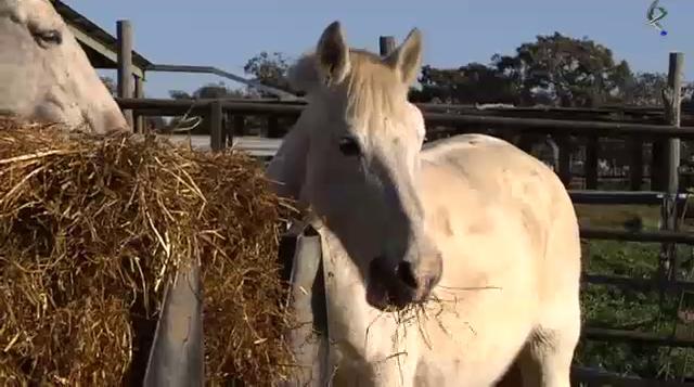 Yeguada Valderrey, apertura del orificio nasal a un caballo, la silla de montar, cuidados del caballo y Calzazo