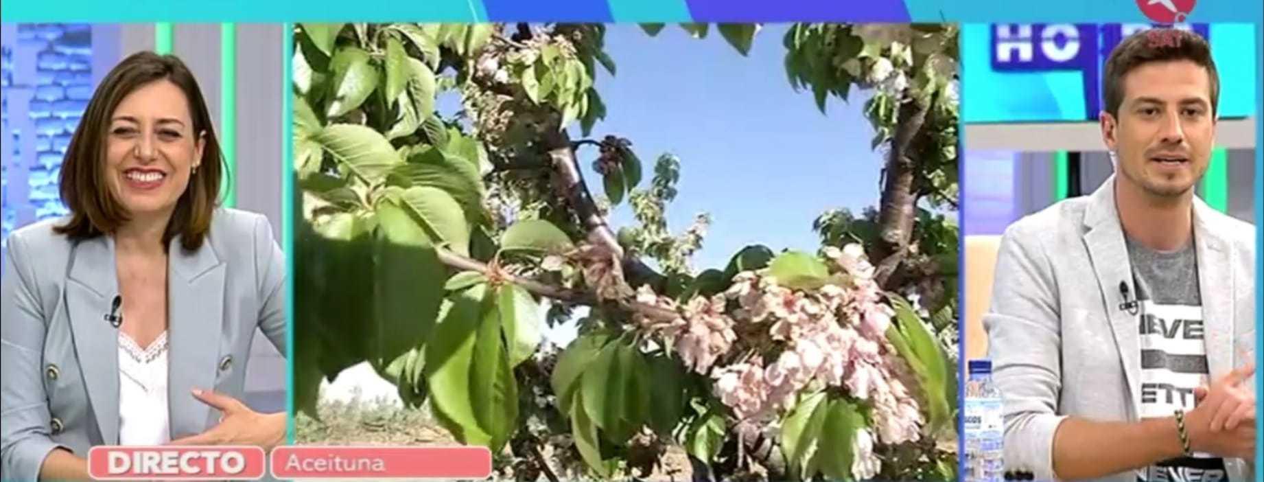 En el Valle del Alagón también presumen de sus cerezos