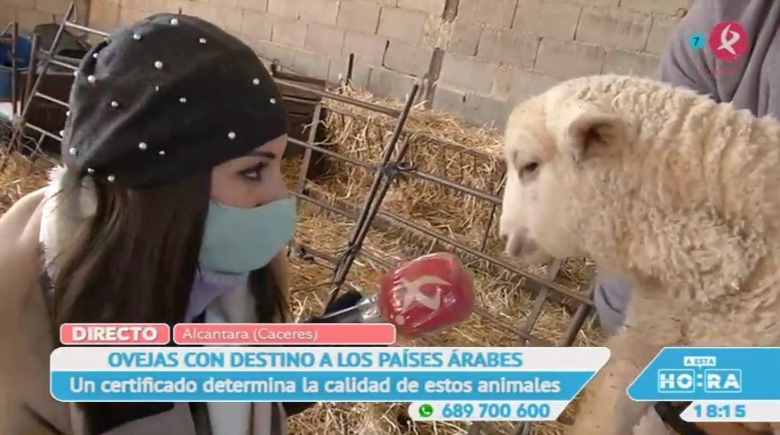 Los corderos que se crían en Alcántara se exportan a medio mundo