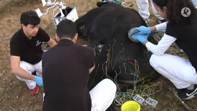 La fisioterapia al servicio del toro de lidia