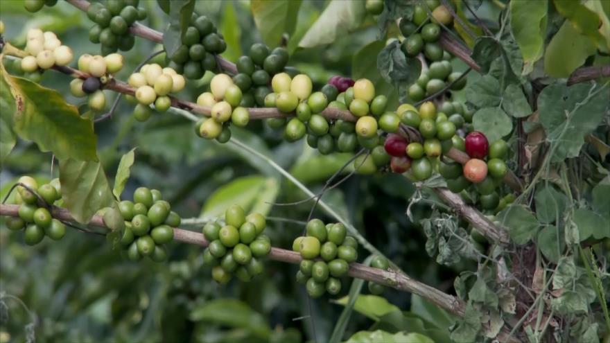 Crisis de café en Colombia