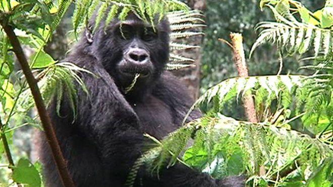 Temporada 4 Programa 128 - Los últimos gorilas