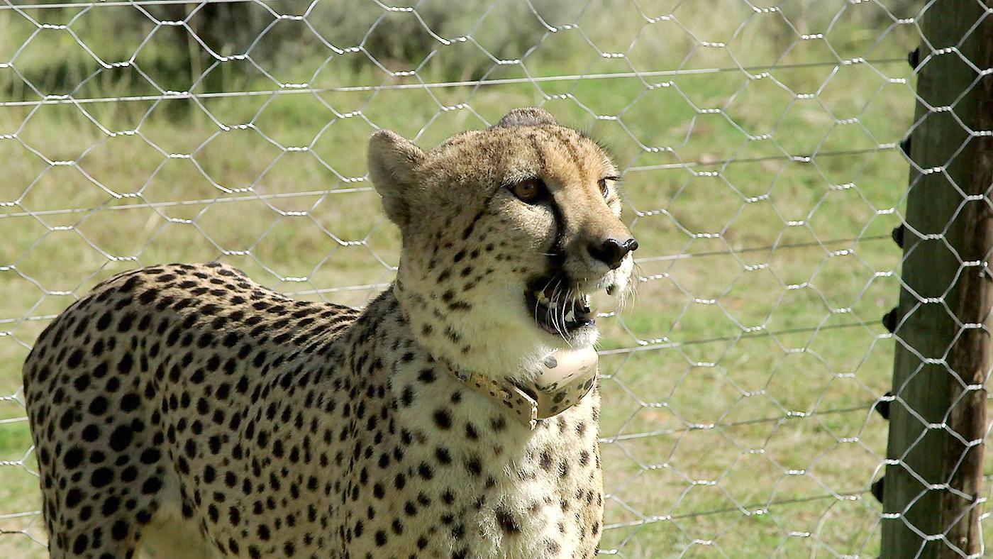 Gondwana Programa 2 - Ese adorable gatito es un guepardo