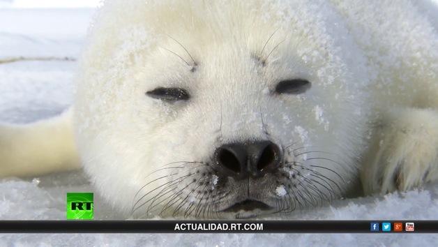2013-07-18 - Salvemos a la foca bebé