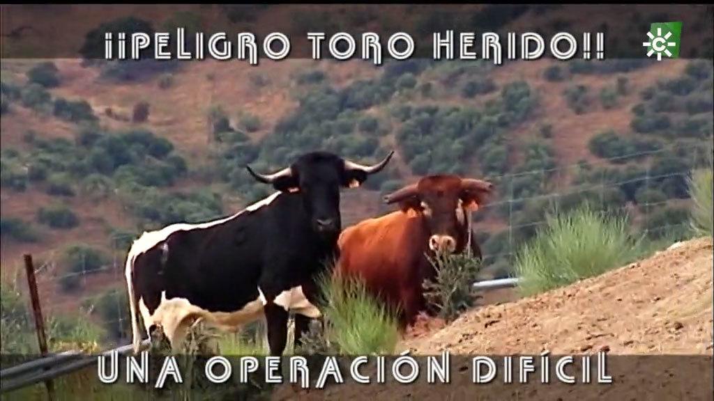 La difícil tarea de curar a un toro herido (22/11/2020)