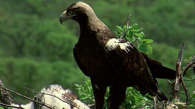 (Fauna ibérica) - El águila imperial II