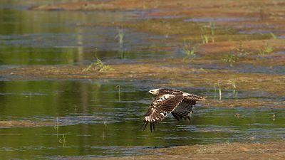 (Fauna ibérica) - El águila perdicera II