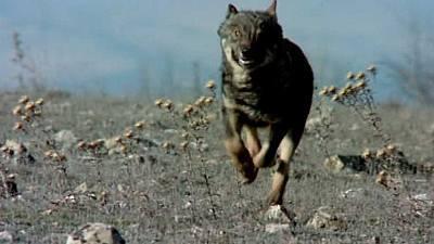 (Fauna ibérica) - El lobo