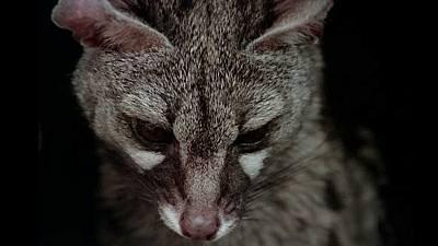 (Fauna ibérica) - La bella matadora