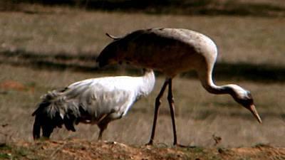 (Fauna ibérica) - Las aves esteparias 3