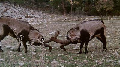 (Fauna ibérica) - Las sierras de Cazorla y de Segura II