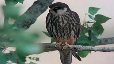 (Fauna ibérica) - Los pequeños cazadores alados 1 (El alcotán)