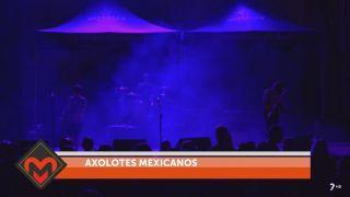 26/05/2018 Axalotes mexicanos