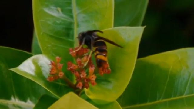 A velutina: a vespa asasina das abellas - 23/04/2016 15:15
