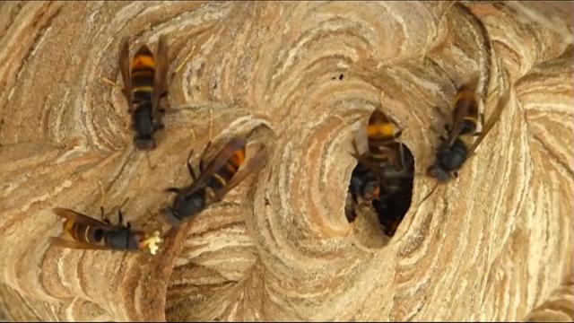 A loita contra a velutina  /  As especies invasoras na Unión Europea - 05/06/2021 13:45