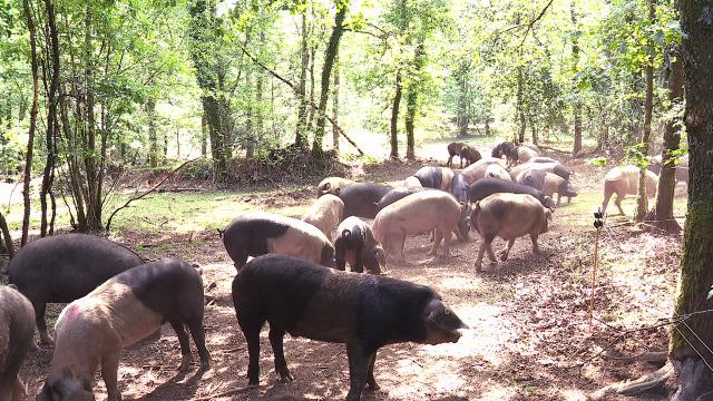 Rivadulla, novo xardín de excelencia / ASOPORCEL e a recuperación do porco celta - 06/06/2020 13:50