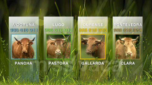 Pancha, Pastora, Gallarda e Clara son as candidatas a gañar Miss Vaca 2019 - 28/06/2019 23:08