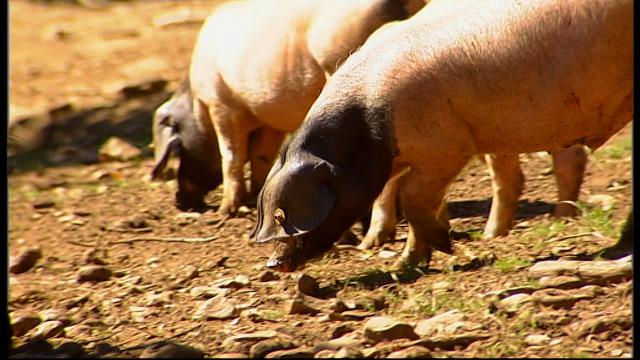 Chamamento ao consumo de produtos galegos desde unha cooperativa de cría de porco celta - 17/04/2020 12:06