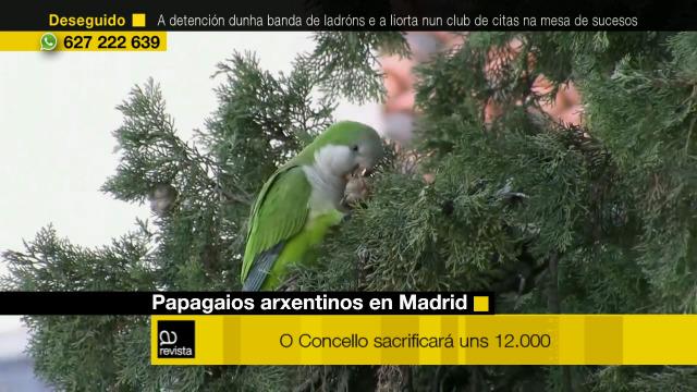O concello de Madrid vai sacrificar uns 12.000 papagaios arxentinos - 02/03/2020 12:30