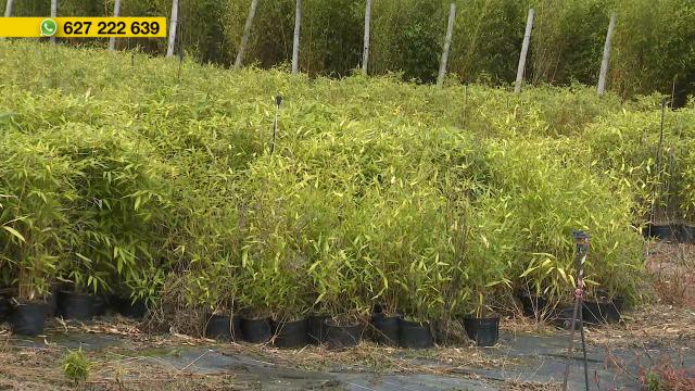 O cultivo de bambú en Galicia - 28/08/2020 12:15