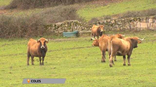 Recuperar as vacas propias do país - 23/01/2020 16:30