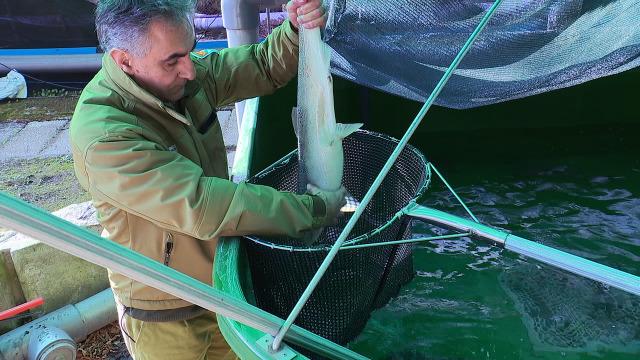 994: Unha fábrica de salmóns / Cambio de substrato /  Balance de 2019 - 09/02/2020 10:35