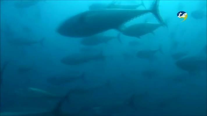 La tonyina roja de l'Ametlla de Mar