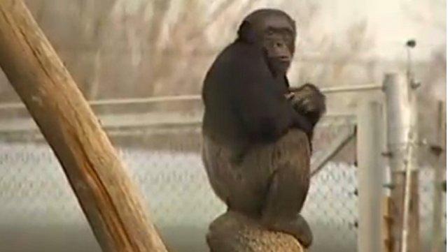 Recuperant els primats