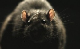 Imagen de Ratas!