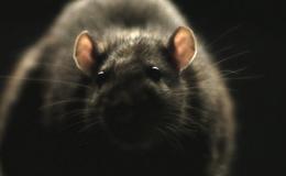 Imagen de Ratas